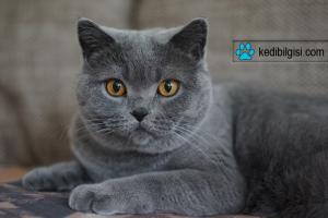 grey 2542867 300x200 - British Shorthair Kedi Özellikleri