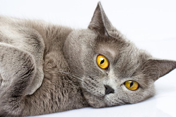british shorthair kedi