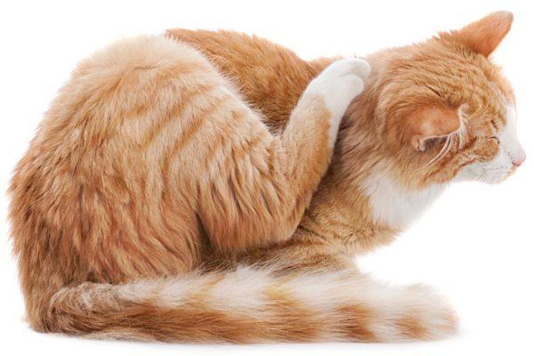 Kaşınan Kedi