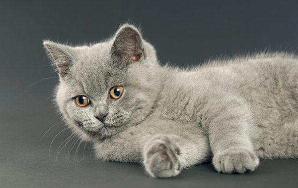 British Shorthair 5 645mk062211 600x380 - British Shorthair Tarihi!