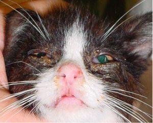 kedilerde goz akintisi 550x441 300x241 - Kedimin Gözleri Neden Sulu ?