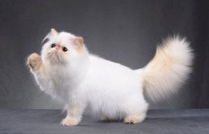 242432 699x450 persian cat hair 300x193 - Kedi Tüy Bakımı