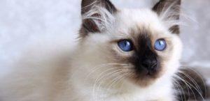 birman kedisi
