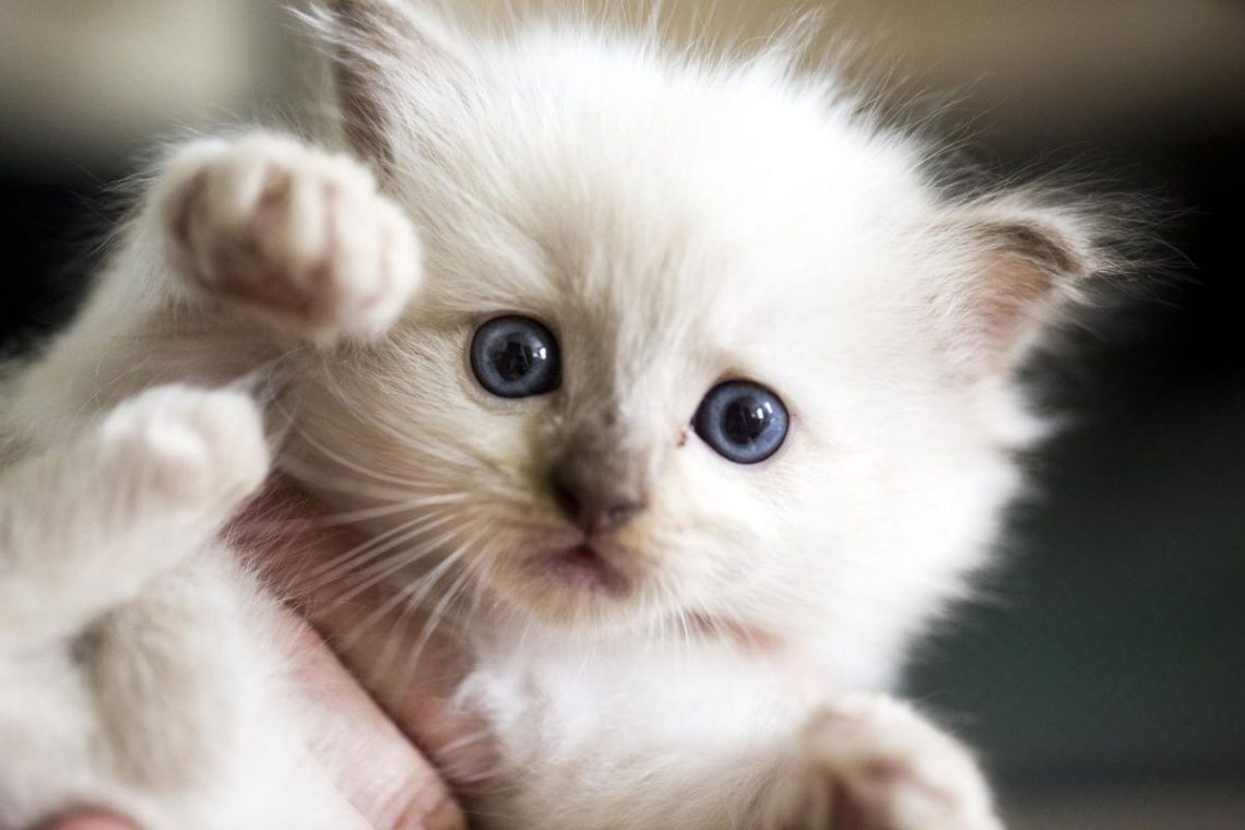 cins kedi