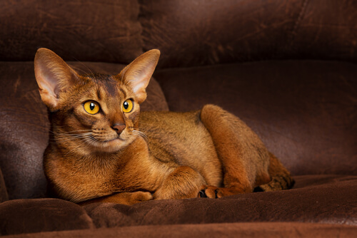 Abyssinians-Cats1