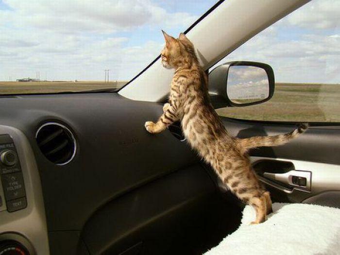 arabada kedi