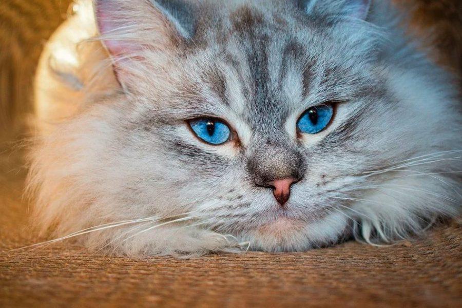 sibirya kedisi