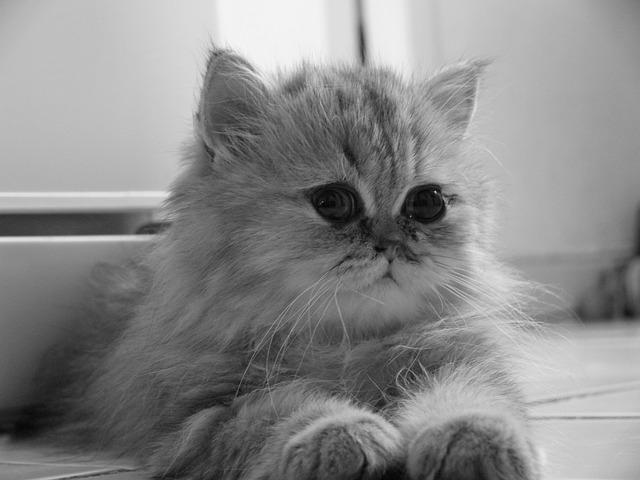 chinchilla-kedisi