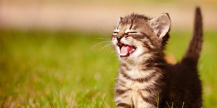 kedi miyavlaması