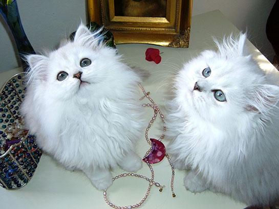 chinchilla-kedi