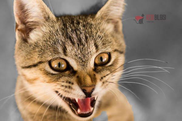 Kedi-Miyavlaması