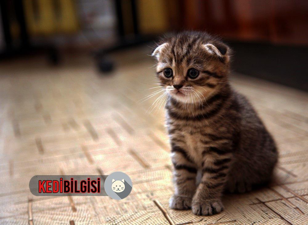 scottish-kedi
